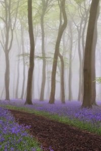 Bluebell Heaven - Spring Bluebell Woods in the Morning Mist by Ceri Jones