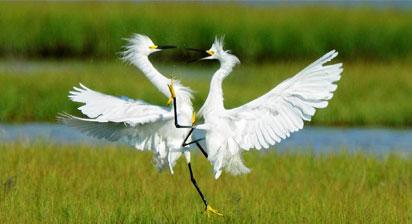 ff_snowy-egrets
