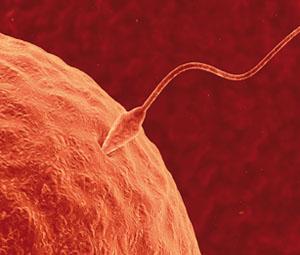 ovulo-fertilizado