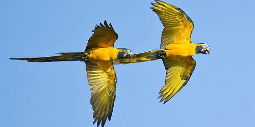 loros volando